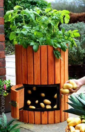 پرورش سیب زمینی در منزل