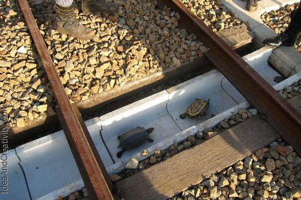 کار جالب ژاپنی ها برای محافظت از لاکپشت ها