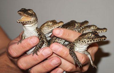 پرورش تمساح و کروکودیل