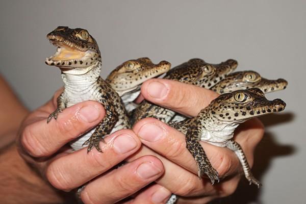 ایده سرمایه گذاری: پرورش تمساح و کروکودیل