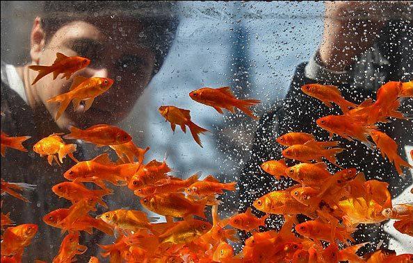 سرمایهگذاری در پرورش ماهیان زینتی