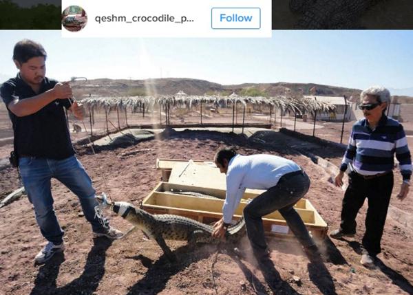(دو مهمان خارجی مزرعه، مشغول آماده سازی و رها کردن کروکودیل در مزرعه هستند)