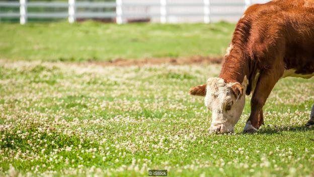 مصرف یونجه پرکومارین که کپک زده باشد میتواند به مرگ گاوها منتهی شود