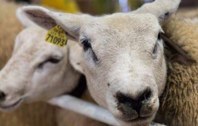 گوسفند میتواند افراد آشنا را از روی عکس تشخیص دهد