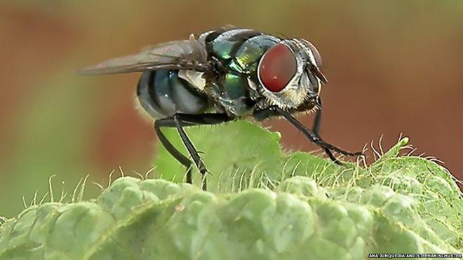 مگس ها بیش از حد تصور حامل بیماری ها هستند