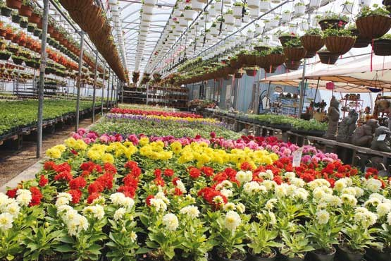 پرورش گل، کسب و کاری با ۳۰میلیون درآمد در ماه